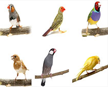 Finches and Canaries